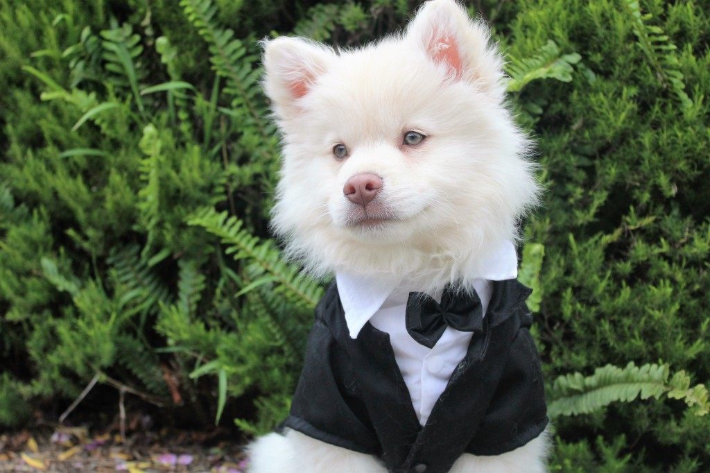 An image of a dog in a dog tuxedo attending a wedding.