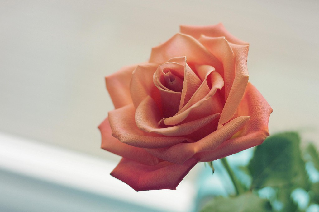 An image of a rose in a coral colour.